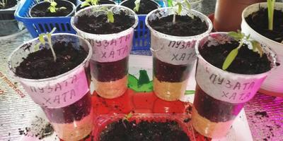 Томат Пузата хата. III этап. Развитие растений и уход за ними. Пикировка