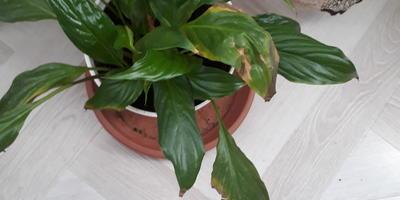 Почему у спатифиллума листья временами желтеют и чернеют?