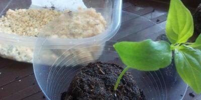 Перец сладкий Кубышка. III этап. Развитие растений и уход за ними. Пересадка
