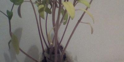 Томат Клондайк. III этап. Развитие растений и уход за ними. Пересадка