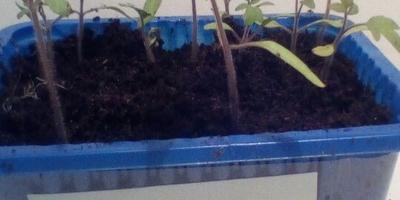Томат Чудо Рынка F1. III этап. Развитие растений и уход за ними. Пересадка