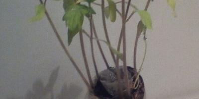Томат Северёнок. III этап. Развитие растений и уход за ними. Пересадка