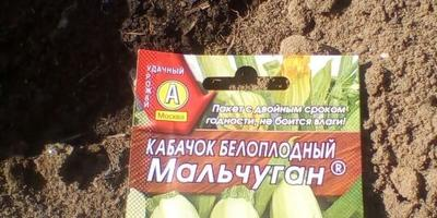 Кабачок белоплодный Мальчуган. I этап. Посев семян
