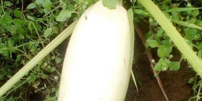 Кабачок белоплодный Мальчуган. VI этап. Плодоношение