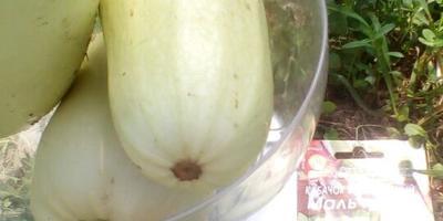 Кабачок белоплодный Мальчуган. VI этап. Плодоношение. Продолжение
