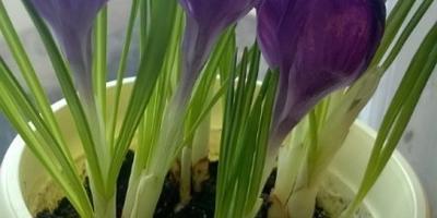 Мои любимые крокусы. Сорта Жанна д'Арк, Пиквик, Флавер рэкорд