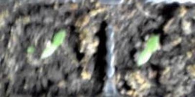 Перец сладкий Кубышка. II этап. Всходы. Появление настоящих листьев