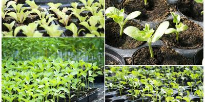 Выращиваем здоровую рассаду: профилактика возможных проблем