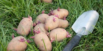 Урок 4. Здоровый картофель: как выбрать и подготовить клубни к посадке