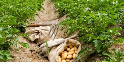Урок 10. Картофель: защита от фитофтороза и колорадских жуков до сбора урожая