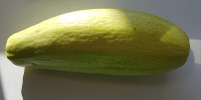 Кабачок белоплодный Дядя Федор. VI этап. Первые плоды