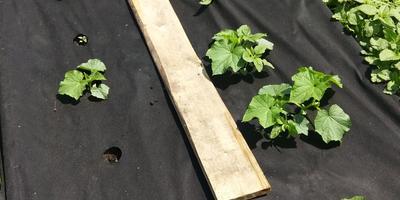 Огурец Хрустящий погребок F1. III этап. Развитие растений и уход за ними