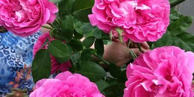 Борьба с вредителями на розе и капусте