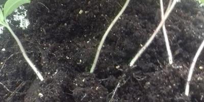 Томат Амурский тигр. III этап. Развитие растений и уход за ними. Пикировка