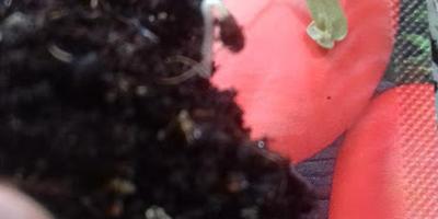 Томат Дамский угодник. III этап. Развитие растений и уход за ними. Пикировка