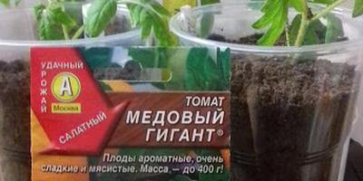 Томат Медовый гигант. III этап. Развитие растений и уход за ними. Пикировка