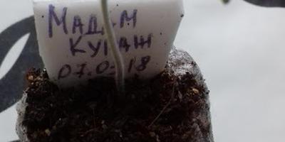 Томат Мадам Кураж F1. III этап. Развитие растений и уход за ними. Пикировка