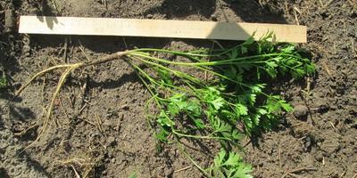 Петрушка листовая Бисер. Характеристика урожая, зелени