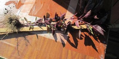 Базилик Русский гигант фиолетовый. Характеристика урожая, зелени
