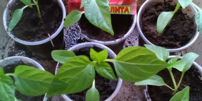 Перец сладкий Чудо-великан F1. III этап. Развитие растений и уход за ними. Пикировка