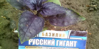 Базилик Русский гигант. Пересадка в ОГ