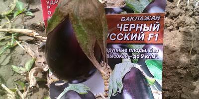 Баклажан Черный русский F1. V этап. Цветение и появление завязей