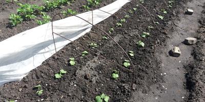 Мой опыт выращивания огурцов на теплых грядках