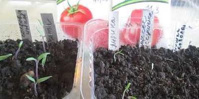 Всходы повторного посева томатов Лирика и Царское искушение