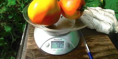 Вес двух томатов Сокровище инков F1