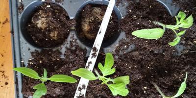 Томат Малиновый великан. III этап. Развитие растений. Уход за ними. Пикировка