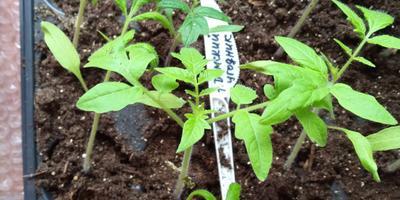 Томат Дамский угодник. III этап. Развитие растений. Уход за ними. Пикировка (часть 2)