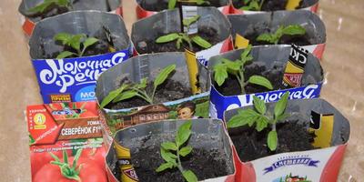 Томат Северёнок F1. III этап. Развитие растений и уход за ними. Пикировка рассады
