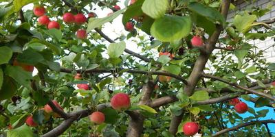 Стресс, или Как яблоня ранетка начала плодоносить