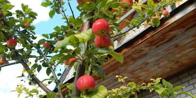 Помогите определить заболевание яблони и груши