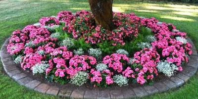 Какие цветы в приствольном круге на фото?