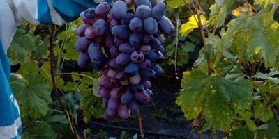 Подскажите сорт винограда