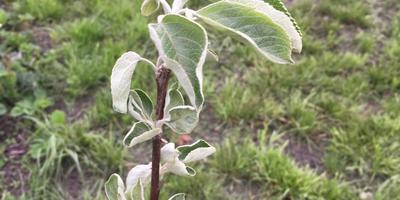 Почему скручиваются листья у плодовых деревьев?