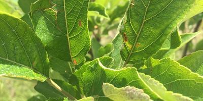 На листьях яблонь и груш оранжевые пятна. В чем причина?