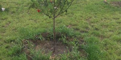 Не растет яблоня. В чем причина и что делать?