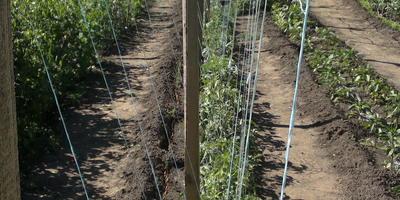 Мой небольшой томатный секрет для больших томатных урожаев