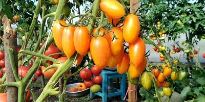 На конкурс томатов: Котя F1