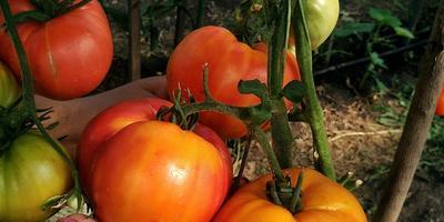 На конкурс томатов: Наше Сокровище Инков
