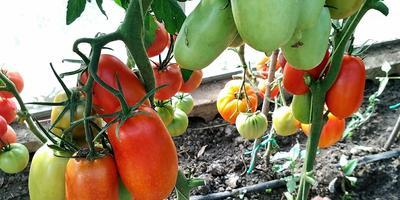 На конкурс томатов: Царское искушение F1