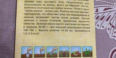 Укроп Аллигатор. Тест на всхожесть