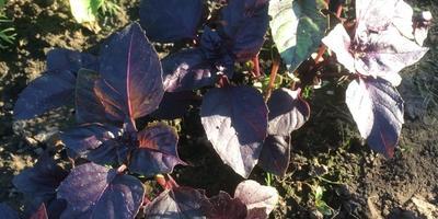 Базилик фиолетовый. Характеристика урожая