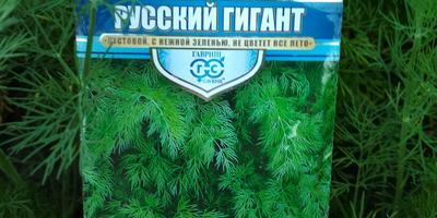 Укроп Русский гигант. Рост и развитие. Характеристика