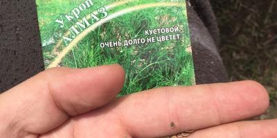 Укроп Алмаз. Тест на всхожесть