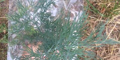 Укроп Алмаз. Характеристика урожая