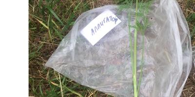 Укроп Аллигатор. Характеристика урожая