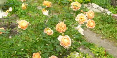Чего не хватает розам?